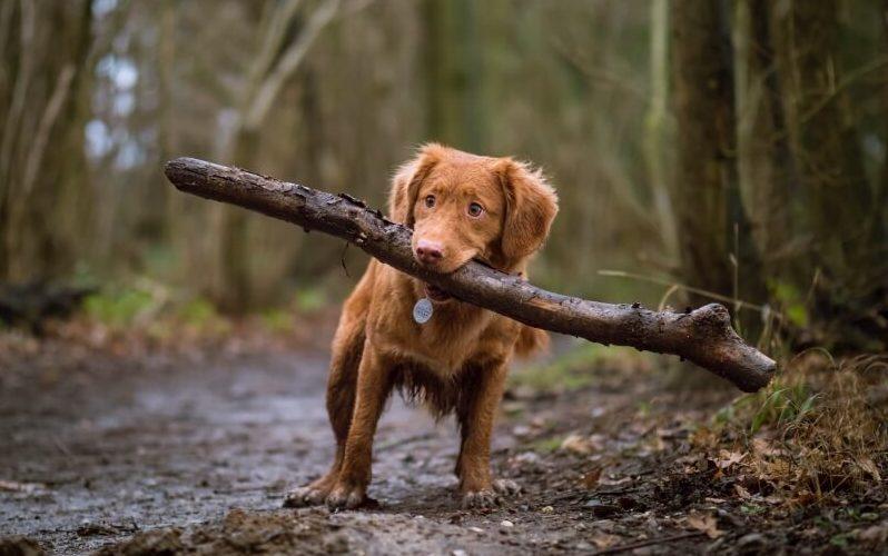 Hund mit Stock im Wald