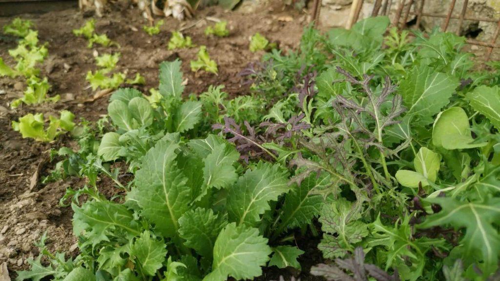 Asia Salat im Garten anbauen