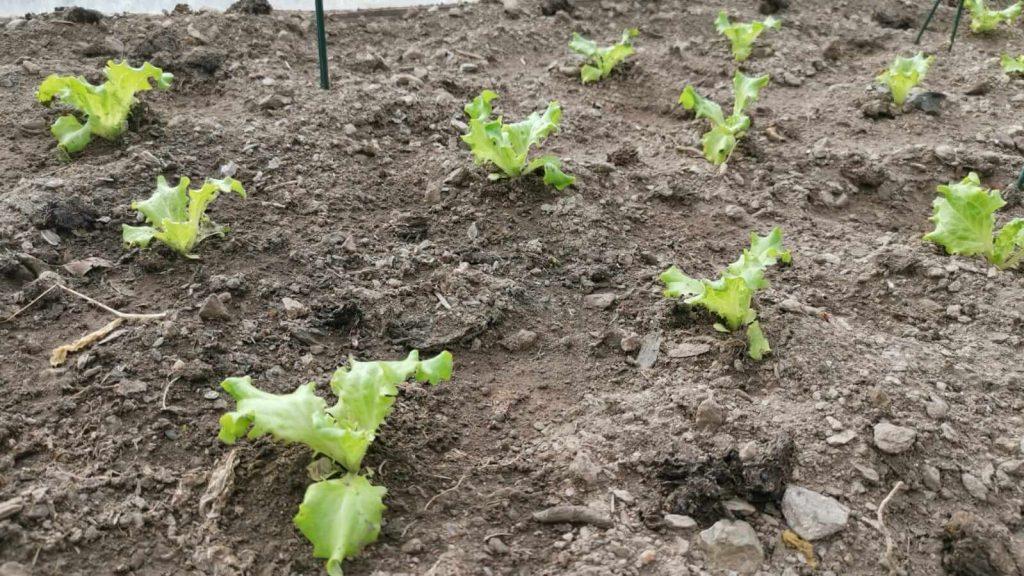 Salatpflanzerl im Garten