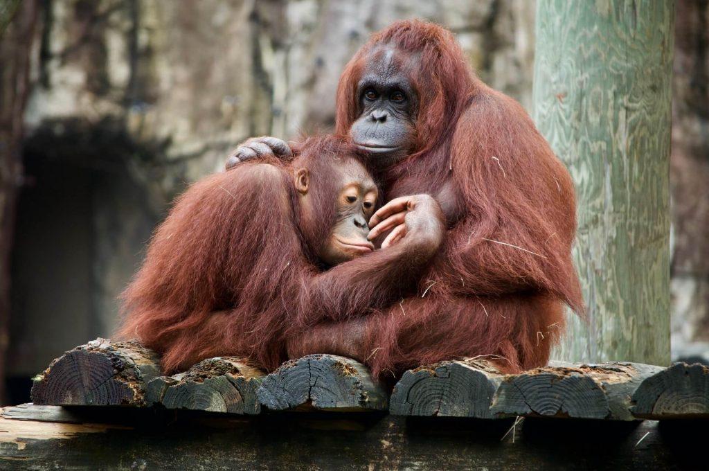 Zwei Affen umarmen sich